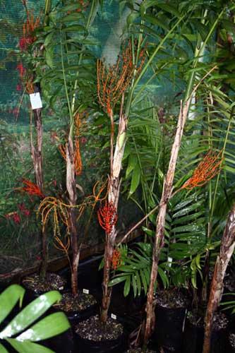 Chamaedorea oblongata