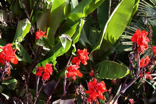 Cannas and Musa mannii leaves